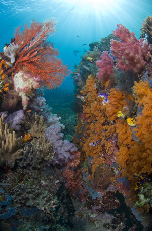 Reef scene in Indonesia by Jeff Yonover