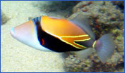 Reef Triggerfish (Rhinecanthus rectangulus)
