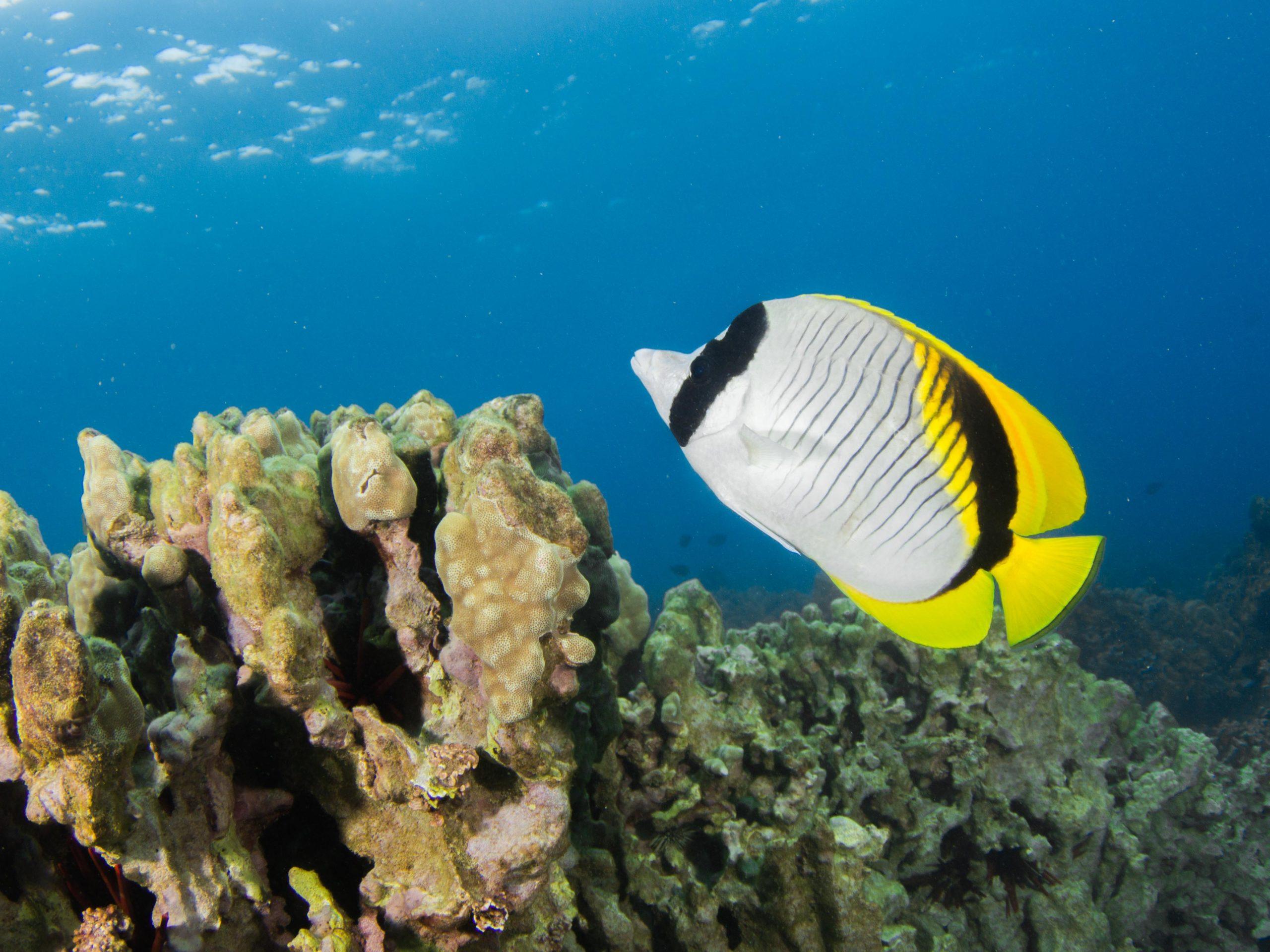 IMG_9706_MW_Hawaii_Lined Butterflyfish